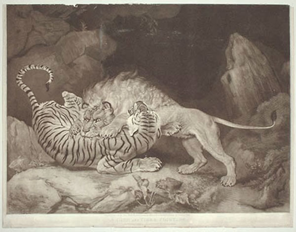 A Lion and Tiger Fighting.