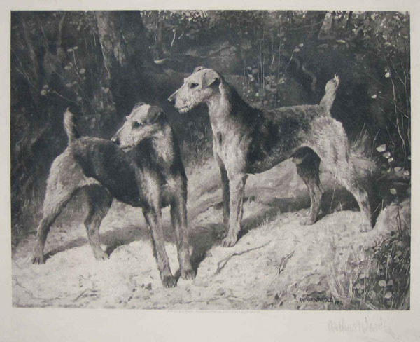 [Pair of Airedale Terriers.]