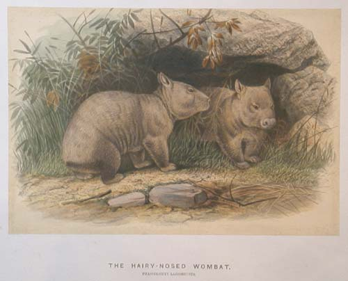 The Hairy-Nosed Wombat.  Phascolomys Lasiorhinus.